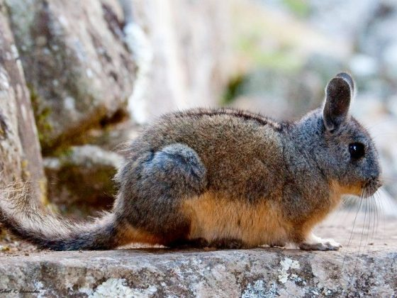 The Chinchillas and Viscachas of Peru