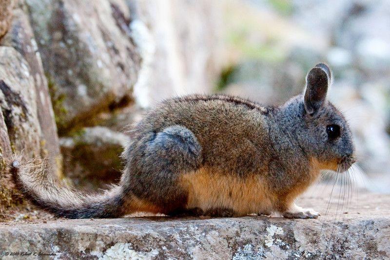 The Chinchillas and Viscachas of Peru